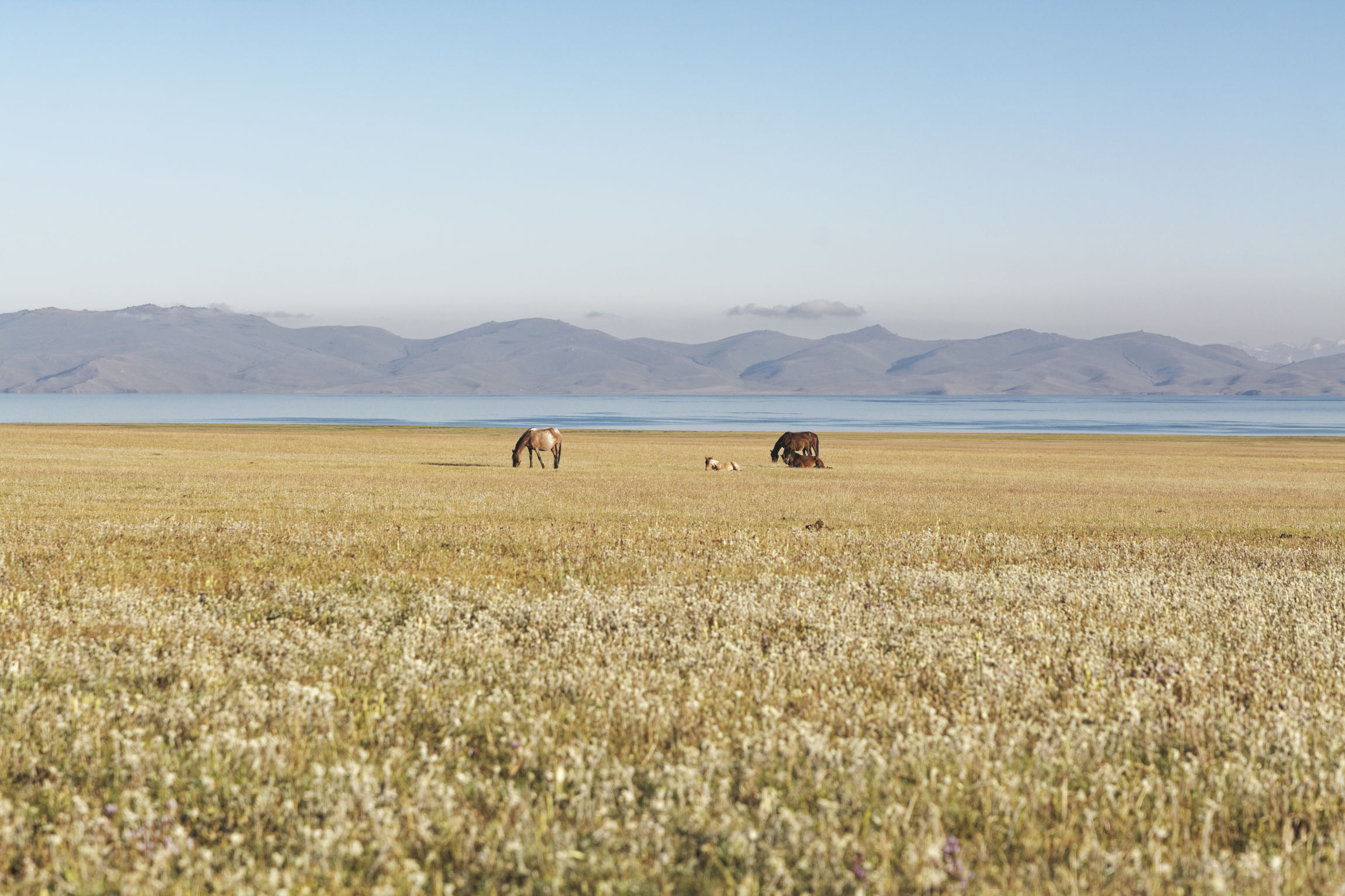 Lac Song Kul Kirghizstan : chevaux et edelweiss