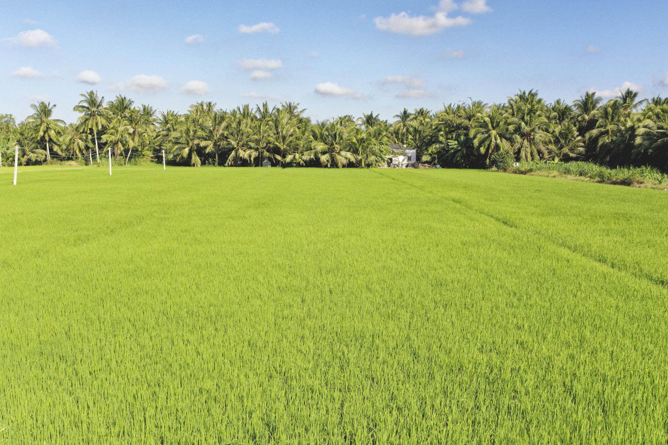Delta du Mékong rizières Ba Tri